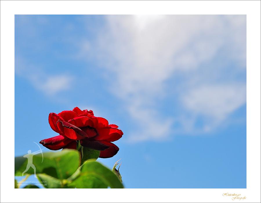 Eine Wolke Rosenduft